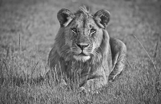 The Lion's Look by Sandy Schepis