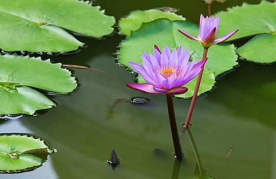 The Lotus by Ajithaa Edirimane
