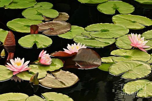 Byron Varvarigos - The loveliness of waterlilies