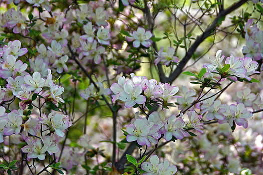 Byron Varvarigos - The Lovely Azaleas