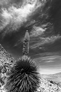 James Brunker - The Majestic Puya raimondii plant in flower