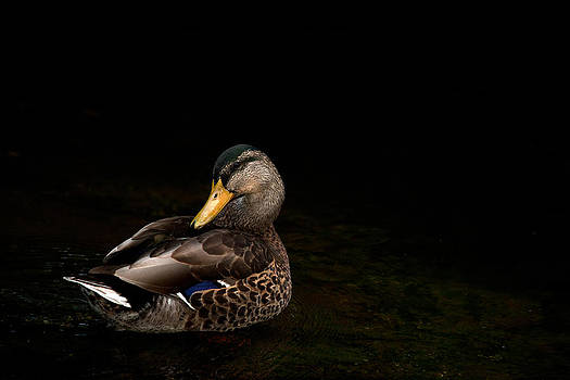 Karol  Livote - The Mallard