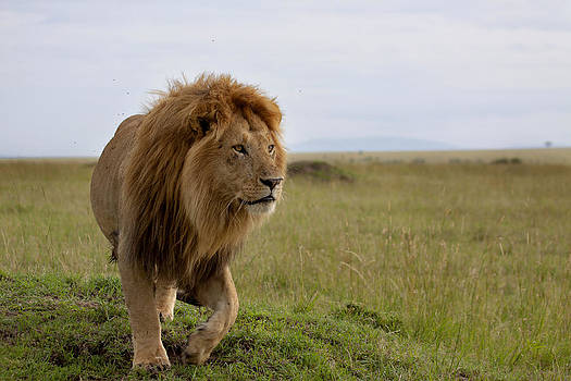 The most beautiful lion of the Masai Mara by Maggy Meyer