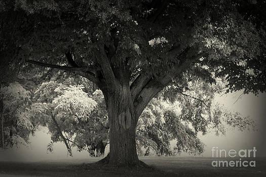 The Old Oak by Steve Patton
