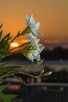 The Oleander by Brian Wright