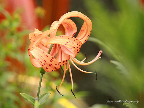 The Over Achieving Lily by Diana Walker