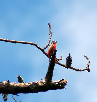 The Painted Bunting by Kim Pate