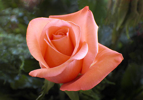 Kurt Van Wagner - The Perfect Coral Rose