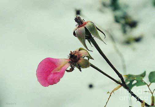 The petal by Marija Djedovic