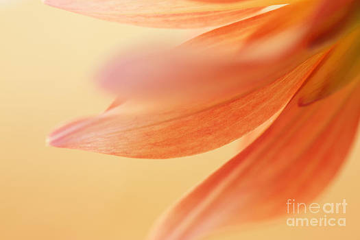 LHJB Photography - The petals of a dahlia