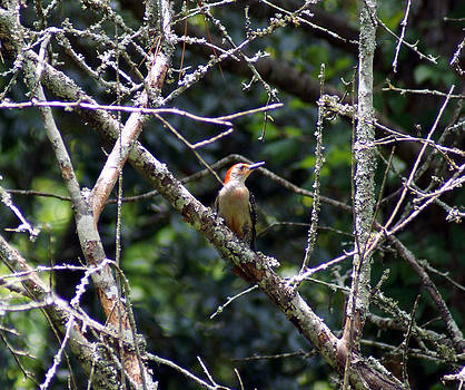 The Red-bellied Woodpecker by Kim Pate