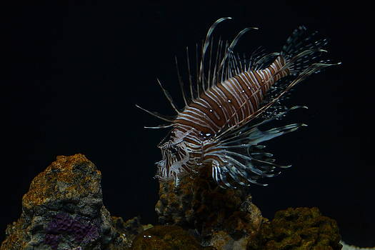 The Red Lion Fish by Jennifer Kelly