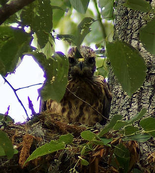 The Red-Shouldered Hawk Chick by Kim Pate
