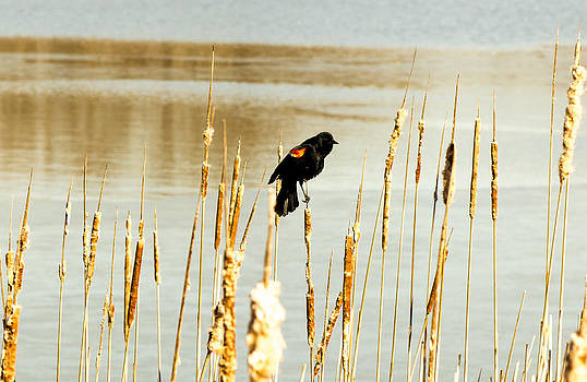 The Red-winged Blackbird. by Tibor Co