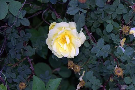 The Rose by Michael Sokalski