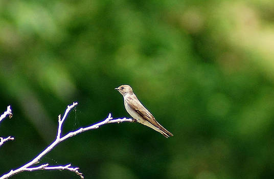 The Sand Martin by Kim Pate