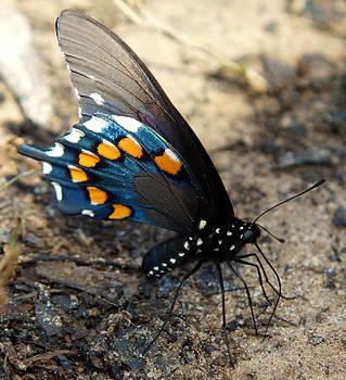 The Spicebush Swallowtail Papilio Troilus by Kim Pate