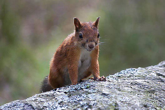 The Squirrel by Giovanni Chianese