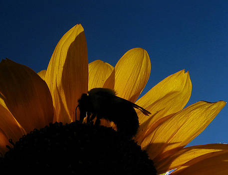 The Sunflower and The Bee by Dan McCafferty