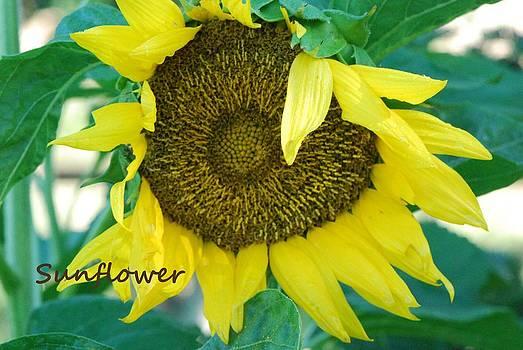 Sunflower by Lisa  DiFruscio