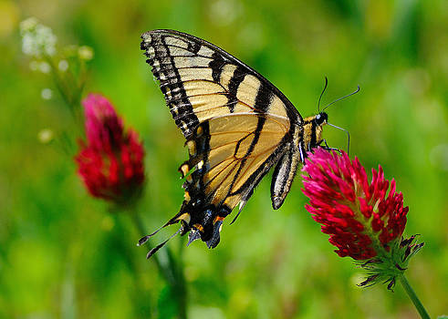 The Swallowtail by Sarah Rodefeld