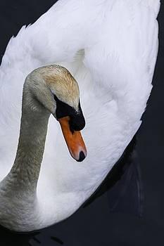 The Swan by Edward Khutoretskiy