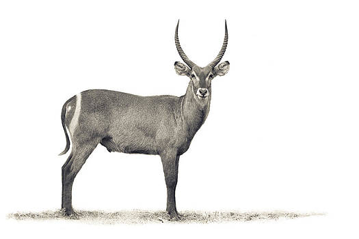 The Waterbuck by Mario Moreno