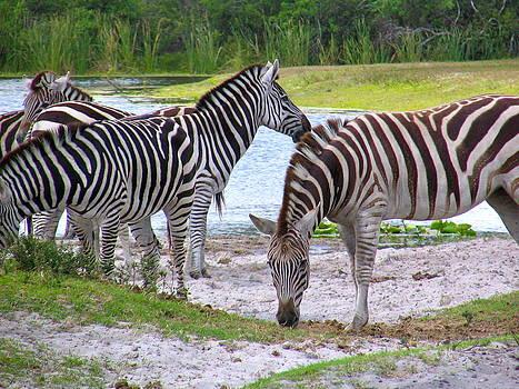 The Zebra by Paul Schoenig