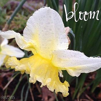 These Ruffled Daffodils Started by Teresa Mucha
