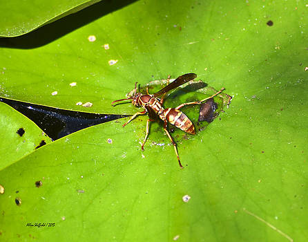 Allen Sheffield - Thirsty Bee on Waterlily