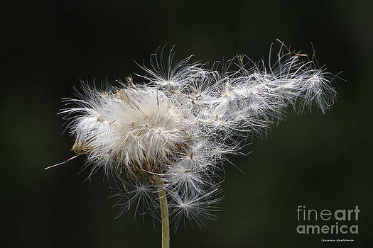 Tannis  Baldwin - Thistle and the wind
