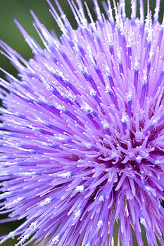 Thistle by Billy Lewis
