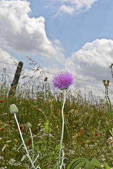 Thistle in the Sky by Teresa Dixon