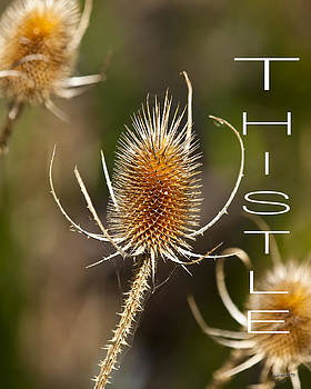 Thistle by Jim Lucas