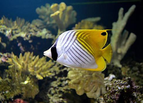 Threadfin Butterflyfish by Eleu  Tabares