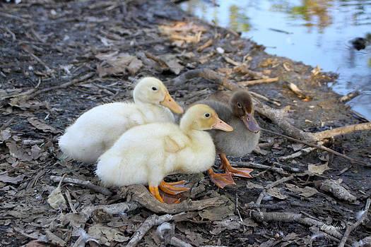 Diana Haronis - Three Baby Ducks