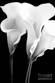 Mary Deal - Three Calla Lilies in Black and White