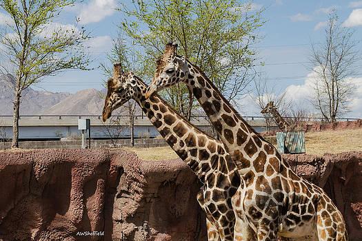 Allen Sheffield - Three Giraffes