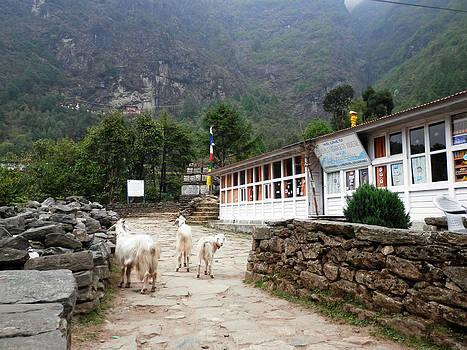 Three Goats by Pema Hou