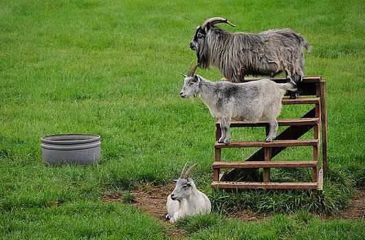 Three Goats by Sharon Sefton