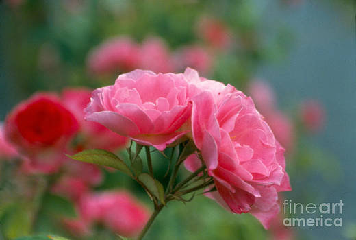 Heather Kirk - Three Headed Pink Rose