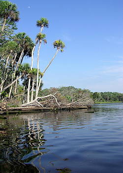 Three palms reflected in the Chassahowitzka River by John Myers