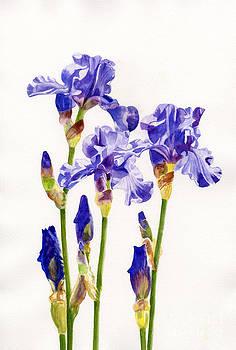 Sharon Freeman - Three Purple Irises