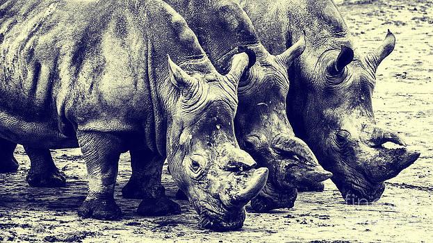 Nick  Biemans - Three Rhinos in a row