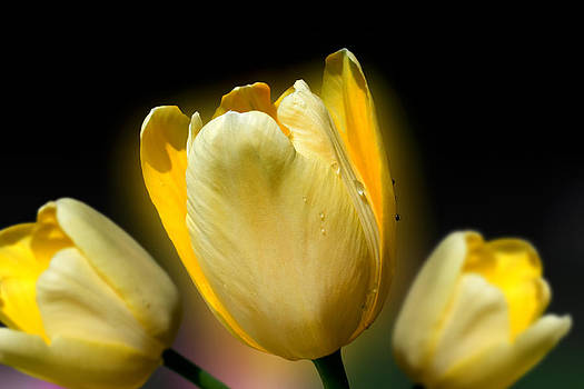Three Yellow Tulips by Gary Smith