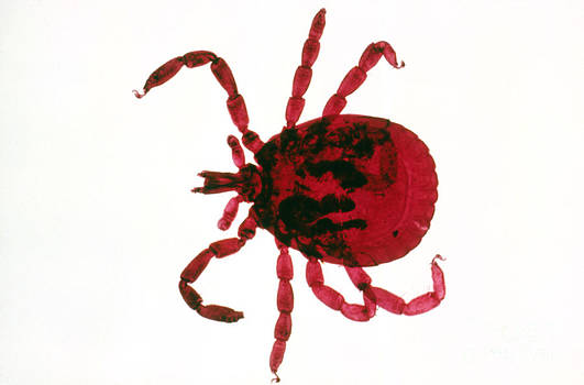 Perennou Nuridsany - Tick