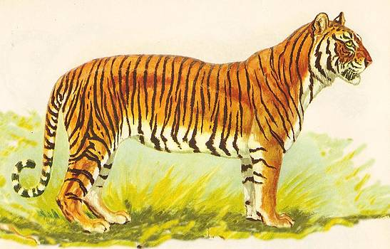 Tiger At Attention by Pat Mchale