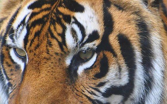 Tiger Eye by Jodi Terracina
