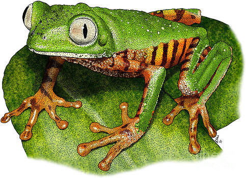 Roger Hall - Tiger-legged Monkey Frog