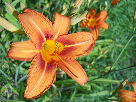 Tiger Lily by Yolanda Raker